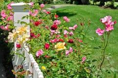 Розы на белой загородке стоковые фотографии rf
