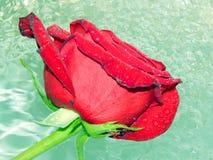 Розы на воде Стоковые Фото