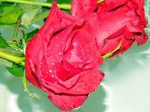 Розы на воде Стоковая Фотография