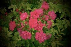 Розы одичалого пинка - Париж, Франция стоковое фото rf
