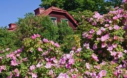 розы одичалые Стоковые Изображения