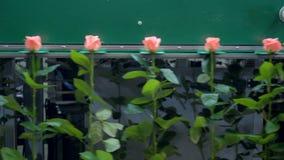 Розы персика розовые двигают на сортируя машину акции видеоматериалы