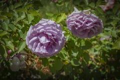 Розы песня о любви Стоковое фото RF