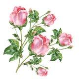 Розы пинка букета акварели белизна переченя пергамента иллюстрации предпосылки старая иллюстрация вектора