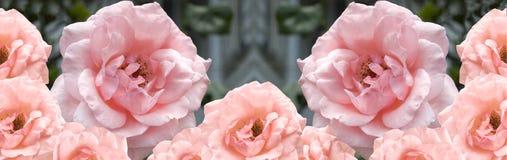 розы пинка граници абрикоса Стоковая Фотография RF