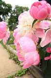 Розы пиона в саде Стоковое Изображение