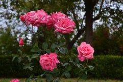 Розы питомника осени стоковые фотографии rf
