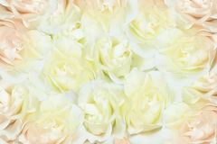 розы предпосылки белые Стоковая Фотография RF