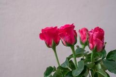 розы предпосылки розовые белые Стоковые Изображения
