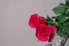 розы предпосылки розовые белые Стоковое фото RF