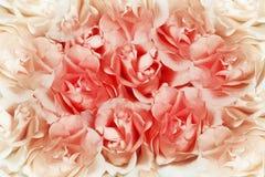 розы предпосылки розовые Стоковые Фотографии RF