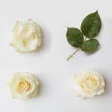 розы предпосылки белые Стоковое Изображение RF
