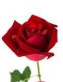 розы предпосылки красные белые Стоковые Фотографии RF