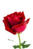 розы предпосылки красные белые Стоковая Фотография