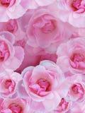 розы предпосылки розовые Стоковая Фотография RF