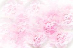 Розы природы мягкие розовые цветут предпосылка для wedding или valentin стоковые изображения