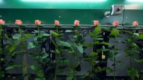 Розы проходя транспортер автоматический сортировать сток-видео