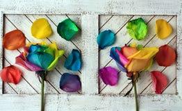Розы радуги на белой древесине Стоковые Фотографии RF