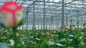 Розы растя в большом парнике сток-видео