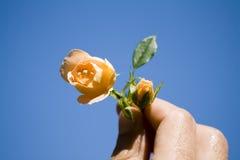 розы руки Стоковое фото RF