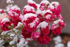 Розы сада в снеге Стоковая Фотография