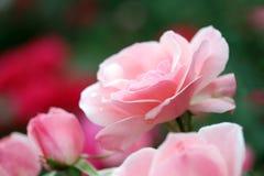 розы сада стоковые фото