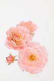 Розы сада персика розовые Стоковое Изображение RF