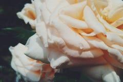 Розы совсем вокруг Стоковая Фотография