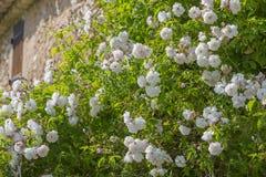 Розы стены на вышедшем из употребления доме Стоковые Изображения RF