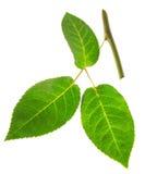 Розы стержня с 3 зелеными листьями Стоковое фото RF