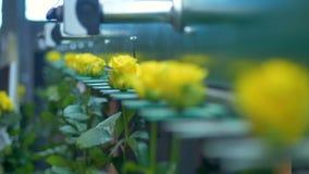 Розы с желтыми лепестками двигают на грейдер и встряхивание фабрики сток-видео