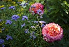 Розы с малой сиренью цветут товарищи стоковые изображения