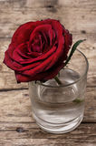 Розы сломленного бутона душистые Стоковая Фотография