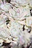 Розы утеса Стоковое фото RF