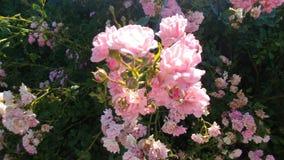 Розы феи стоковое изображение rf