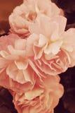 розы фото красивейшего света сада bokeh естественные Стоковые Фотографии RF