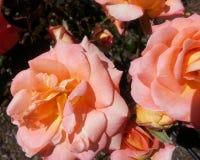 Розы художничества стоковое изображение rf