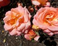 Розы художничества стоковое фото