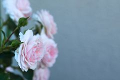 Розы цветков розовые в саде стоковое фото rf