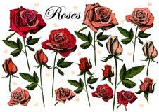 Розы чертежа руки на белой предпосылке Иллюстрация вектора