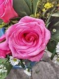 Розы экватора стоковые изображения rf