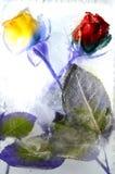 розы 2 Стоковые Фотографии RF