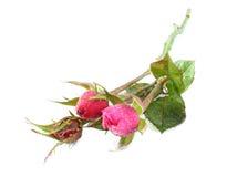 розы 3 Стоковые Изображения