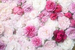 Розы. Стоковые Фото
