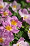 Розы. Стоковая Фотография RF