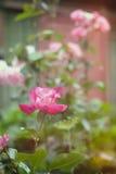 розы Стоковые Фото