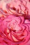 розы Стоковые Изображения RF