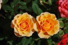 розы 2 Стоковые Фото