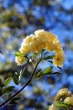Розы Banksiae на голубом небе Стоковое фото RF