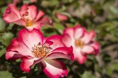 Розы Betty Boop Стоковая Фотография